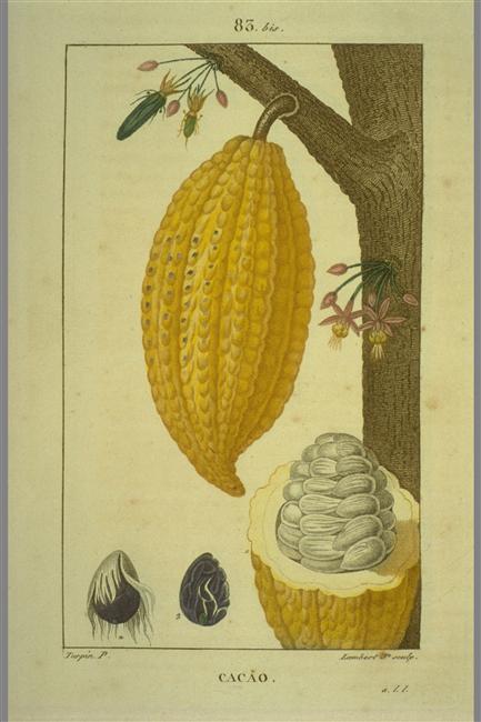 François-Pierre Chaumeton, planche Cacao, in Flore médicale, 1814-1820, 8 volumes. Photo © Muséum national d'Histoire naturelle, Dist. RMN-Grand Palais / image du MNHN, bibliothèque centrale.